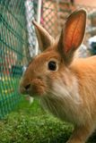 Conejo_5402. Surprised rabbit, looking curiously at the camera stock photo