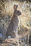 Conejo Fotografía de archivo libre de regalías