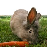 Conejo_5429. Rabbit looks attentively whilst eating a carrot stock photography