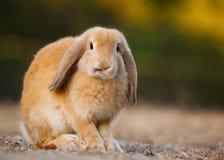 Conejo Foto de archivo libre de regalías