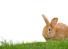 Conejo aislado Foto de archivo