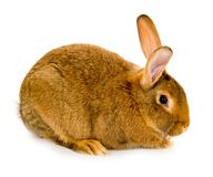 Conejo aislado fotografía de archivo