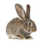 Conejo, aislado en blanco Fotos de archivo