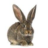 Conejo, aislado en blanco fotografía de archivo