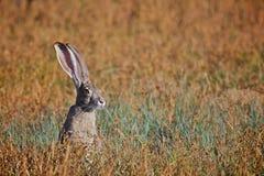 Conejo alerta de Gato Imagen de archivo