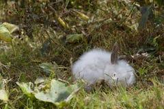 Conejo blanco Fotos de archivo libres de regalías