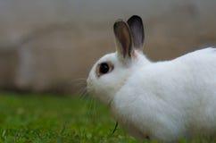 Conejo blanco con el fondo borroso Imagenes de archivo