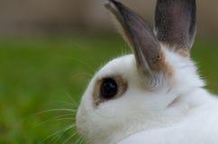 Conejo blanco con el fondo borroso Foto de archivo