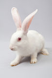 Conejo blanco con un fondo gris Imagenes de archivo