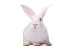 Conejo blanco curioso aislado Imagenes de archivo