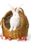Conejo blanco del albino en cesta Fotos de archivo libres de regalías