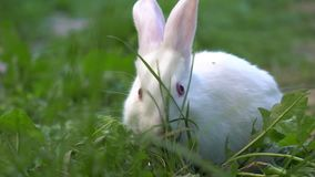 Conejo blanco del bebé divertido comer la hierba verde almacen de video