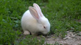 Conejo blanco del bebé divertido comer la hierba verde almacen de metraje de vídeo