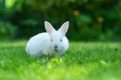 Conejo blanco del bebé en hierba Foto de archivo libre de regalías
