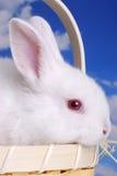 Conejo blanco en cesta imagen de archivo libre de regalías