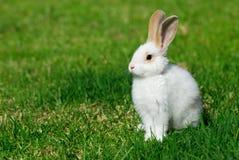 Conejo blanco en la hierba Foto de archivo