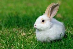 Conejo blanco en la hierba Fotografía de archivo libre de regalías