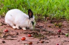 Conejo blanco en la naturaleza que busca la comida Imagen de archivo libre de regalías