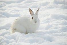 Conejo blanco en nieve Fotos de archivo libres de regalías