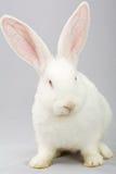 Conejo blanco en un fondo gris Imagen de archivo libre de regalías