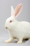 Conejo blanco en un fondo gris Imagen de archivo