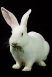 Conejo blanco en un fondo negro Fotos de archivo libres de regalías