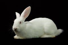 Conejo blanco en un fondo negro Imagenes de archivo