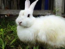 Conejo blanco lindo Foto de archivo
