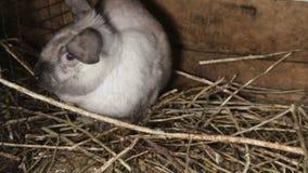 Conejo blanco lindo con oídos largos en la caja de madera almacen de video