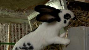 Conejo blanco que come el heno en la granja almacen de metraje de vídeo