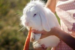 Conejo blanco que come la zanahoria Fotografía de archivo libre de regalías