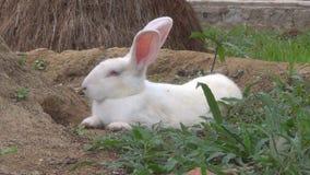 Conejo blanco que miente en la tierra Él respira pesadamente restos de las liebres en el hoyo metrajes