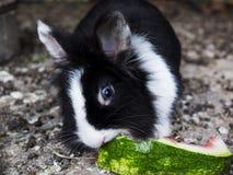 Conejo blanco y negro que come la sandía Imagen de archivo libre de regalías