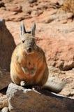 Conejo Bolivia de Viscacha Foto de archivo
