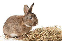 Conejo con el heno Foto de archivo libre de regalías