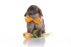 Conejo con la corbata de lazo y los tulipanes Imagen de archivo