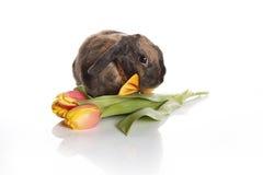 Conejo con la corbata de lazo y los tulipanes Imagenes de archivo