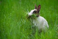 Conejo con la hierba en su boca Fotos de archivo libres de regalías
