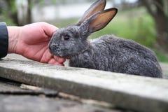 Conejo con la mano Imagen de archivo