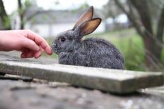 Conejo con la mano Fotografía de archivo libre de regalías