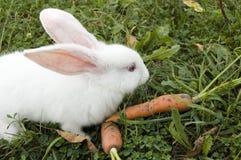 Conejo con la zanahoria Fotografía de archivo libre de regalías