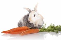 Conejo con las zanahorias Fotos de archivo
