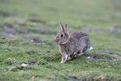 Conejo, cuniculus del Oryctolagus fotos de archivo