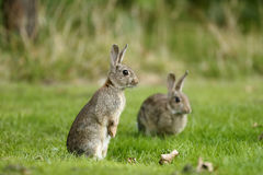 Conejo, cuniculus del Oryctolagus Imagen de archivo