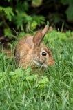 Conejo de Brown Fotos de archivo libres de regalías