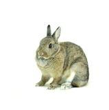 Conejo de Brown aislado en blanco Fotografía de archivo libre de regalías