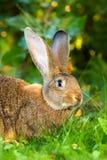 Conejo de Brown en hierba Imagen de archivo libre de regalías
