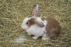 Conejo de Brown en la granja Foto de archivo