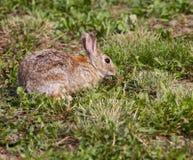 Conejo de Bush Foto de archivo libre de regalías