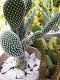Conejo de cactus Photo libre de droits